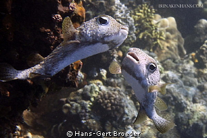 Porcupinefish